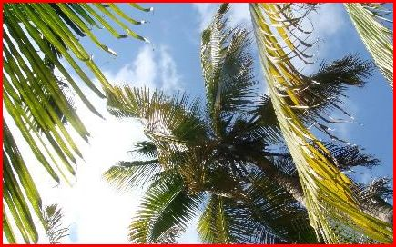 palm%20trees%20at%20long%20caye